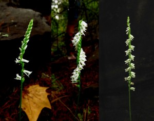 Sprianthes diversity.