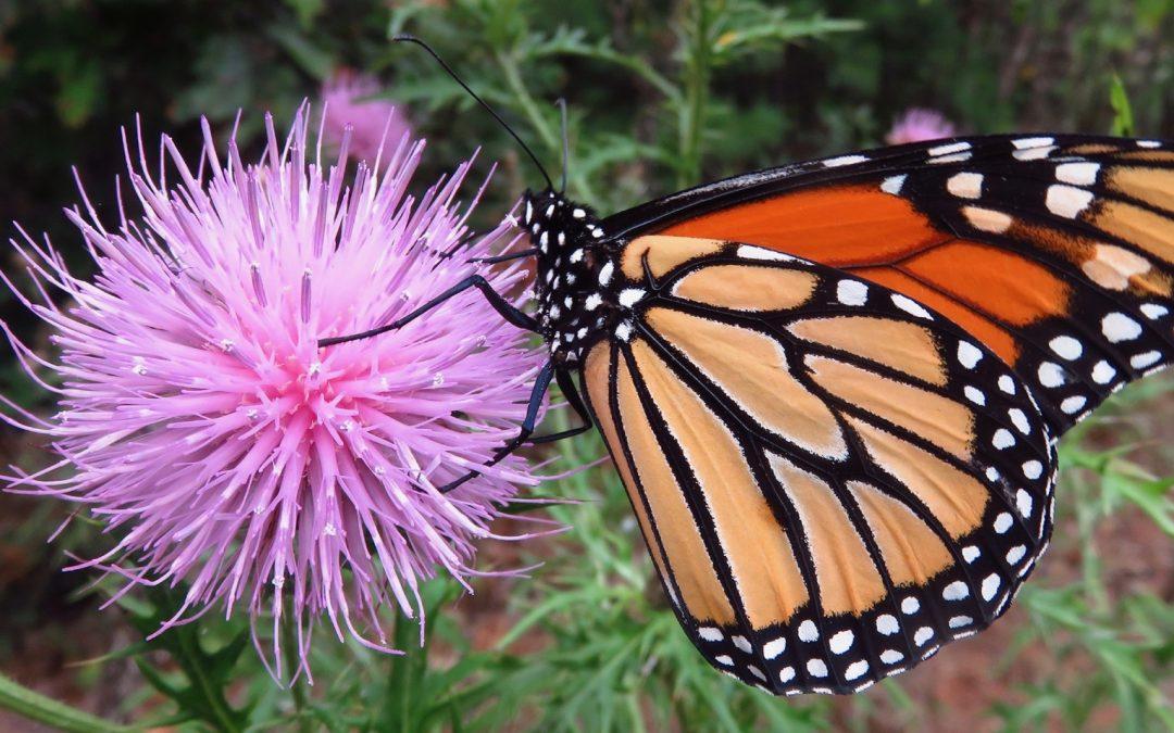 Monarchs not safe!